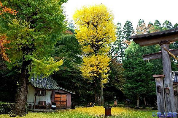 30出石諸杉神社杏木-2.jpg