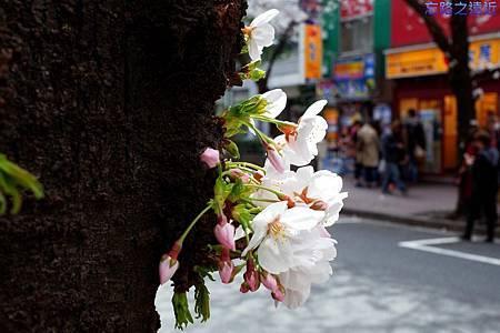 12櫻花通樹幹櫻花-2.jpg