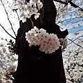 13櫻花通樹幹櫻花-3.jpg