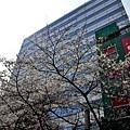 15櫻花通大樓與櫻花-1.jpg