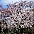6新宿御苑櫻花-2.jpg