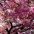 15大室山下櫻花-1.jpg