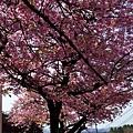 16大室山下櫻花-2.jpg