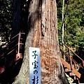 40日枝神社子宝之杉-2.jpg