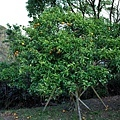 72枇杷橘子樹.jpg