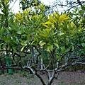 73枇杷果園枇杷樹-1.jpg