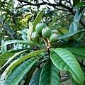 74枇杷果園枇杷樹-2.jpg