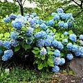 6定山溪溫泉入口紫陽花-2.jpg