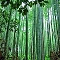 6野宮神社前竹林.jpg
