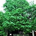 19速玉大社梛の大樹.jpg