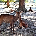 1奈良公園鹿群.jpg