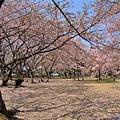 30彥根城櫻花.jpg