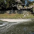 33彥根城內崛中櫻花瓣.jpg