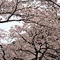 4海津大崎櫻花-2.jpg