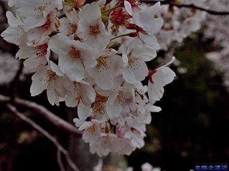 6海津大崎櫻花-4.jpg