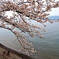 15海津大崎櫻花-12.jpg