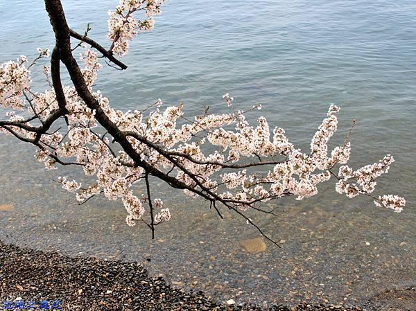 16海津大崎櫻花-13.jpg