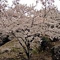 17海津大崎櫻花-14.jpg