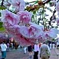 32大阪造幣局櫻花.jpg
