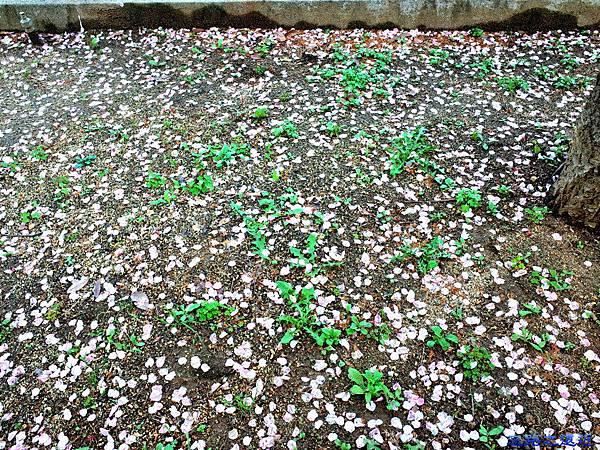 34大阪造幣局櫻花花瓣.jpg