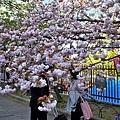 36大阪造幣局櫻花.jpg