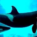 16名古屋港水族館逆戢鯨.jpg