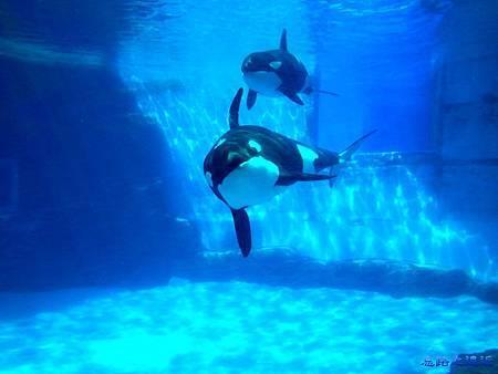 17名古屋港水族館逆戢鯨.jpg