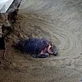 40名古屋水族館海龜孵蛋.jpg