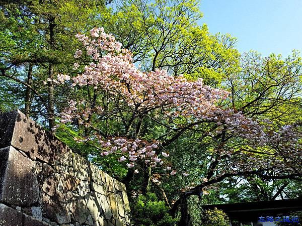 10名古屋城表二之門前櫻花.jpg
