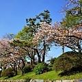 12名古屋城本丸御殿前櫻花.jpg