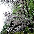 6別所溫泉北向觀音前階梯櫻花.jpg