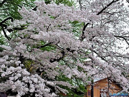7別所溫泉北向觀音前階梯櫻花.jpg