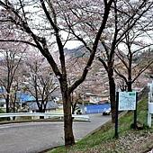 1往常樂寺櫻花道.jpg