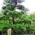 14鎌倉高德院泰國皇子手植松.jpg