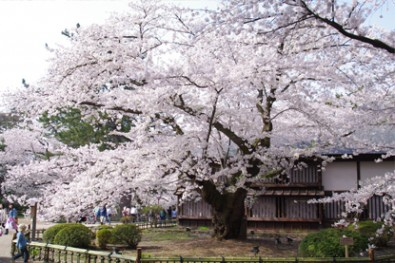 sakura_03_01_l-395x263-摘自弘前公園網頁