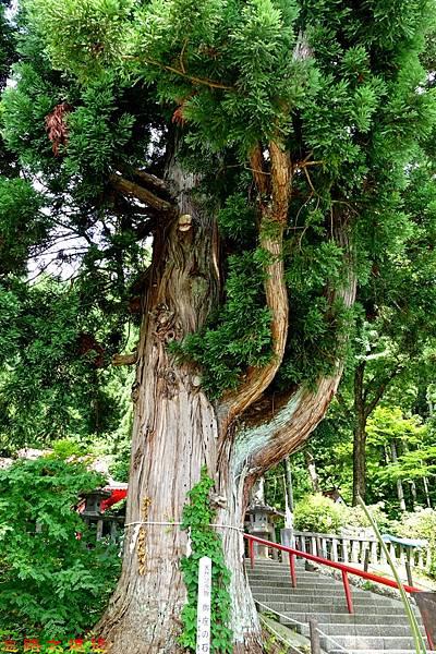 32田澤湖御座之石之杉-1.jpg