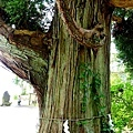 33田澤湖御座之石之杉-2.jpg