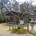 32高野山壇上伽藍西行櫻-冬.jpg
