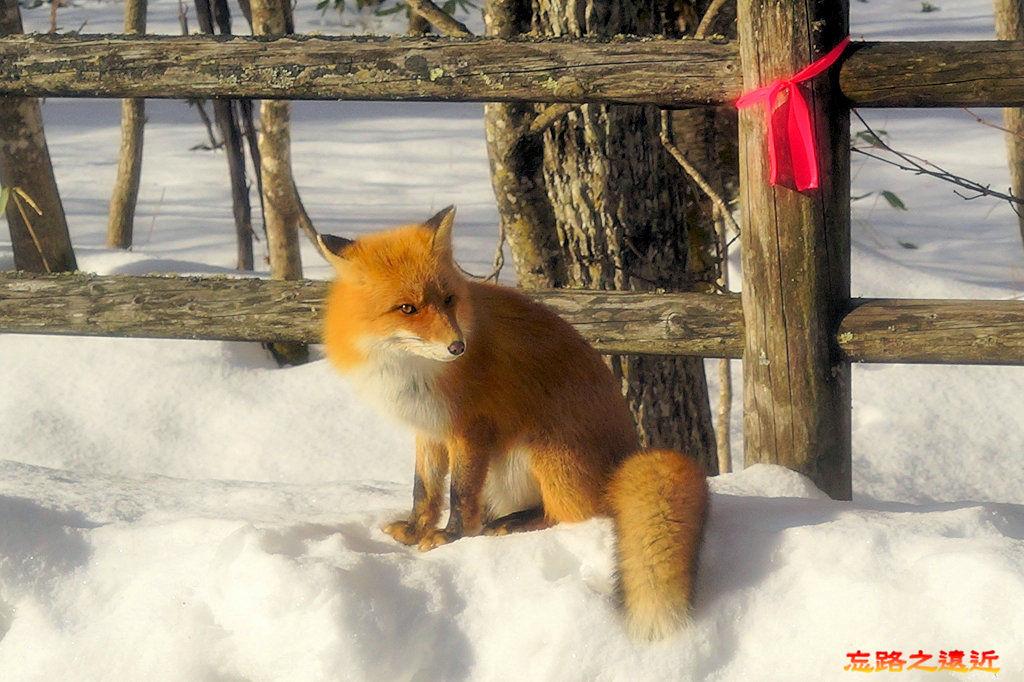4往屈斜路湖路上狐狸-2.jpg