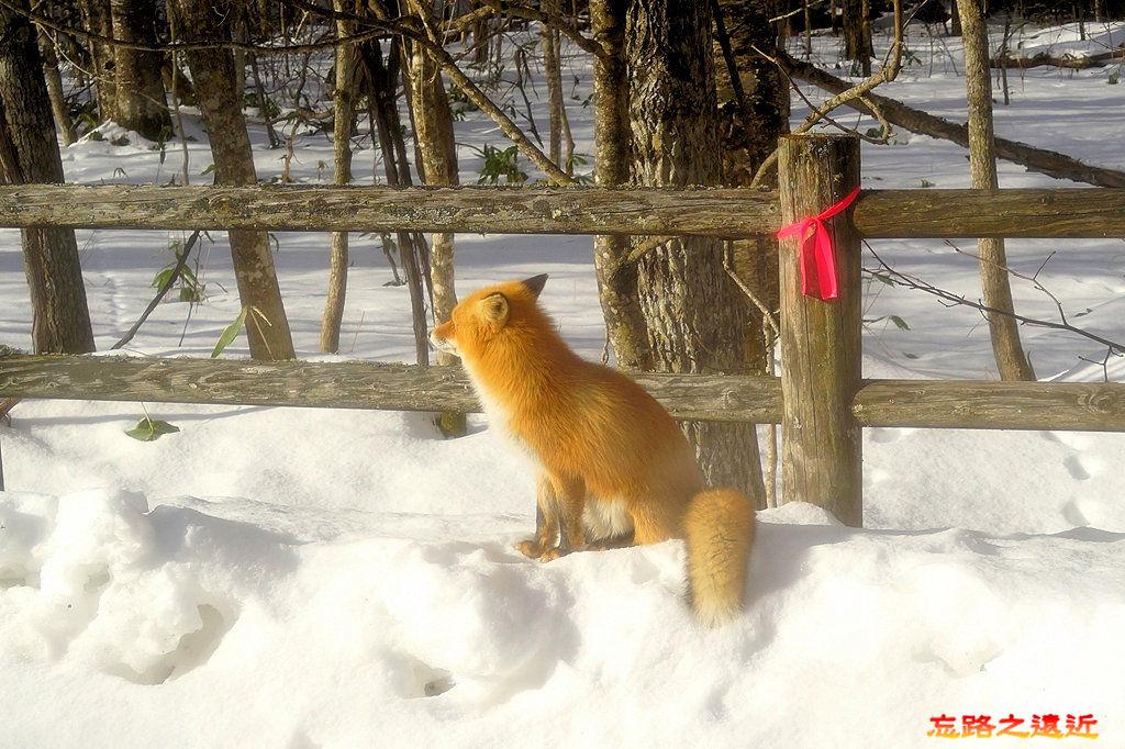 5往屈斜路湖路上狐狸-3.jpg