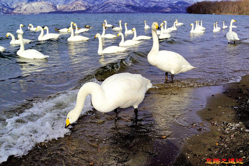 14屈斜路湖砂湯天鵝-4.jpg