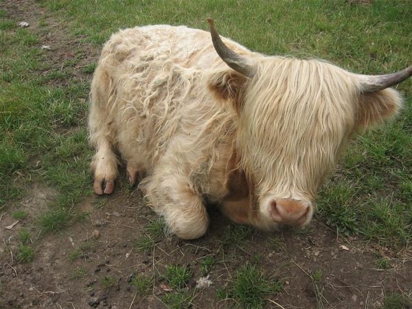 可愛的牛.JPG