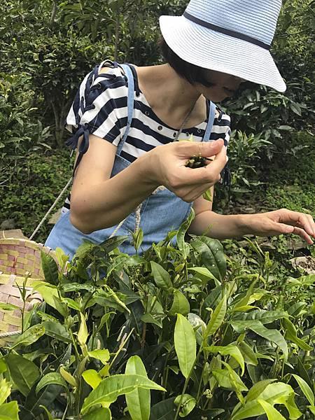 水藍女帽採茶.jpg