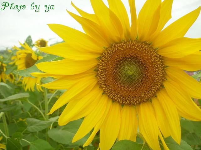 雅慧拍的向日葵,很美
