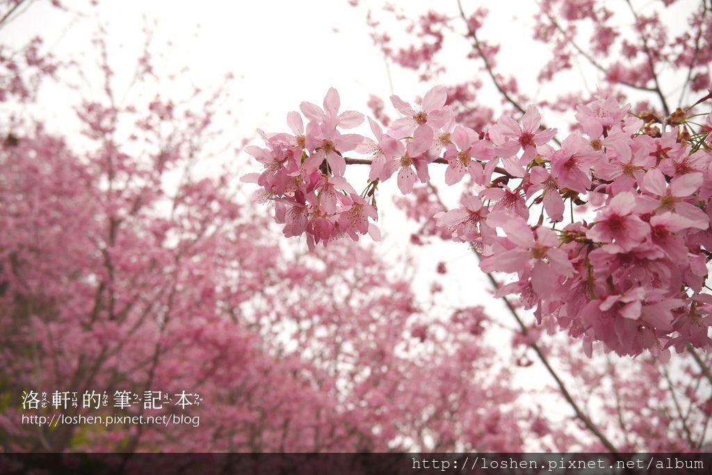 拉拉山中巴陵櫻木花道