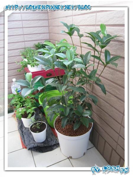 綠意盎然小陽台-雜亂擺放盆栽側拍