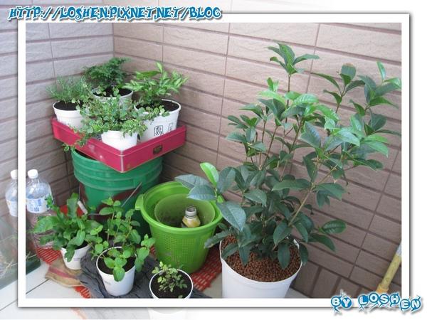 綠意盎然小陽台-底下還一推盆栽