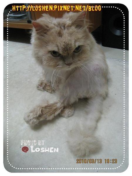 寵物烘毛機-20分鐘後出來的貓model
