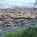 東海岸漂流木