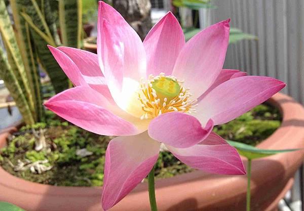Pink Lotus at Lotus Heaven Center Singapore